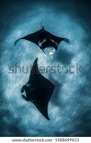Pair of Manta rays circle below. Ningaloo reef, Western Australia
