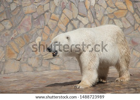 Polar bear at the zoo. An animal in captivity. Northern Bear. #1488723989