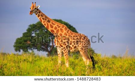 Golden light lit full lenght portrait of Rothschild Giraffe (Giraffa camelopardis rothschildi) in Murchison Falls NP, Uganda