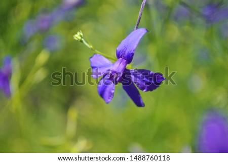 Consolida regalis (Forking Larkspur, Rocket-larkspur, Field larkspur) blue flower, close up detail, soft green blurry bokeh background #1488760118