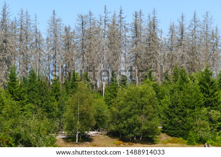 Catastrophic forest dying in Germany. Reason is climate change, dryness and immense reproduction of the bark beetles. Picture taken on August 24, 2019 - near Torfhaus, Harz Brocken moutain.