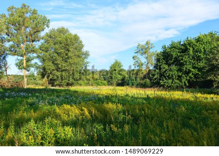 Summer landscape with flowering galium verum plant and trees in the morning meadow and blue sky. Natural impressionism. #1489069229