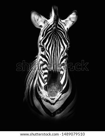 Burchell's zebra (Equus quagga burchellii) Royalty-Free Stock Photo #1489079510