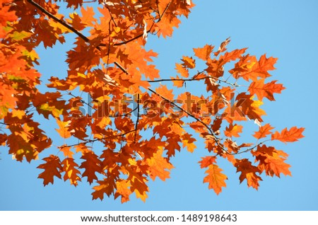 Orange leaves of Quercus robur, commonly known as common oak, pedunculate oak, European oak or English oak, in an autumn forest, view from below towards blue sky  #1489198643