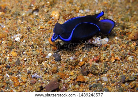 Aquatic tropical slug on the sand. Black and blue nudibranch (philinopsis gardineri) on the seabed. Underwater photography from scuba diving with marine animal.  Underwater macro picture. Sea life.