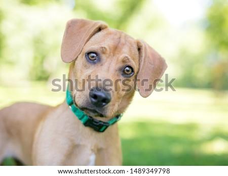 A cute Labrador Retriever / Golden Retriever mixed breed puppy listening with a head tilt #1489349798