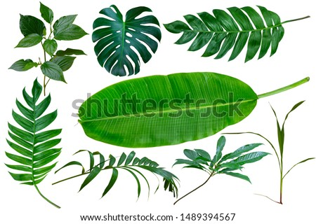 Different tropical leaves isolate on white background with clipping path included. Tropic green banana leaf, palm, jungle plant, monstera vegetation foliage for design elements summer backgrounds. #1489394567