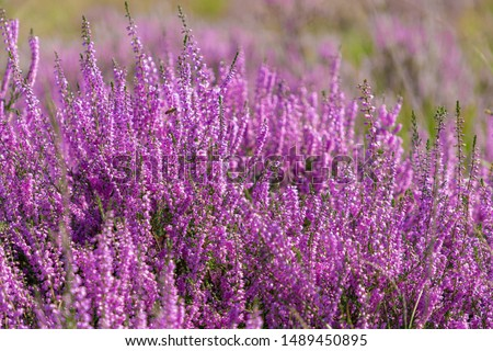 Close up flowering Calluna vulgaris (common heather, ling, or simply heather) Selective focus of the purple flowers on the field, Nature floral background. #1489450895
