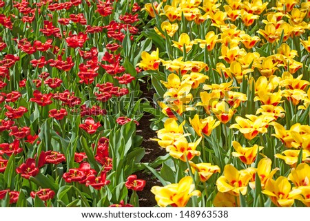 Field of colorful tulips #148963538