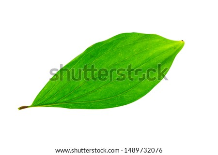Close up of Acacia mangium leaves isolate on white background with clipping path. #1489732076
