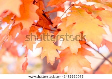 Yellow oak leaves against the sun, change of season #1489912031
