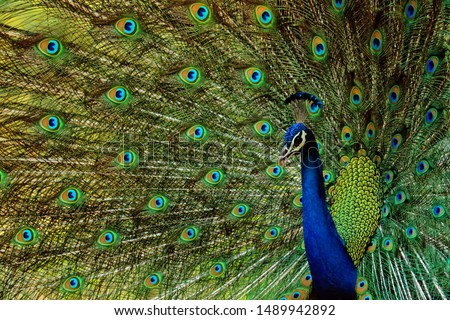 indian peacock -beautiful bird-peafowl-walk time peacock-water drink time peacock-white peacock-birds #1489942892