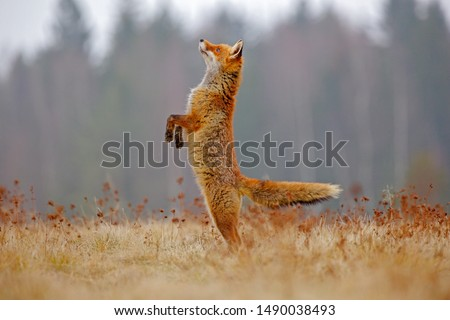 Red Fox jump hunting, Vulpes vulpes, wildlife scene from Europe. Orange fur coat animal in the nature habitat. Fox on the green forest meadow. Funny image from nature. #1490038493