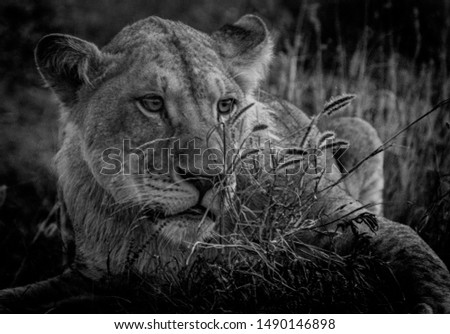 young lion looking over the savannah #1490146898