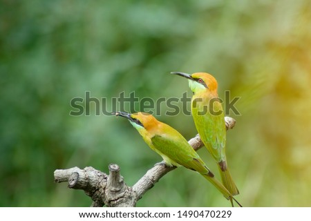beautiful bird Chestnut headed Bee eater on a branch.(Merops leschenaulti) with green background #1490470229