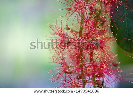 close up view of Barringtonia acutangula or common names include freshwater mangrove, itchytree and mango-pine, botany concept #1490541806