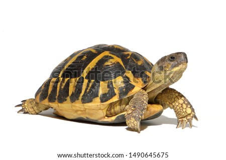 Hermann tortoise turtle d'hermann testudo hermanni isolated white background studio lighting profile view side view entire full whole #1490645675