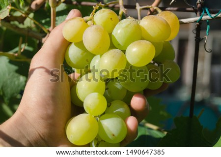 Harvest grapes. Large grapes. Grapes and winemaking. Large grapes. #1490647385