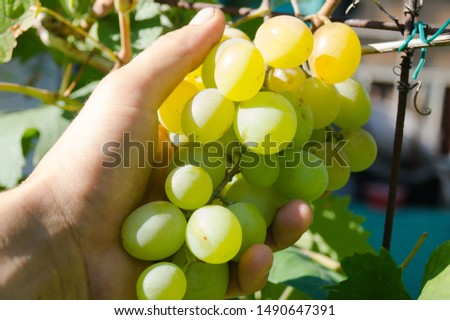 Harvest grapes. Large grapes. Grapes and winemaking. Large grapes. #1490647391