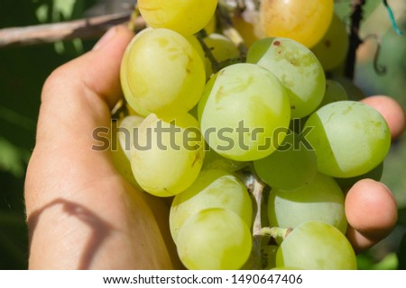 Harvest grapes. Large grapes. Grapes and winemaking. Large grapes. #1490647406