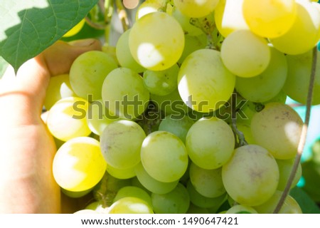 Harvest grapes. Large grapes. Grapes and winemaking. Large grapes. #1490647421