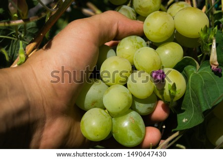Harvest grapes. Large grapes. Grapes and winemaking. Large grapes. #1490647430