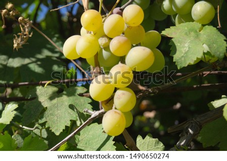 Harvest grapes. Large grapes. Grapes and winemaking. Large grapes. #1490650274