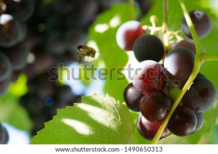 Harvest grapes. Large grapes. Grapes and winemaking. Large grapes. #1490650313