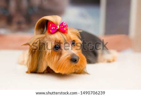 Grooming animals, grooming, drying and styling dogs, combing wool. Grooming master cuts and shaves, cares for a dog. Beautiful Yorkshire Terrier. Beautifully combed dog. #1490706239