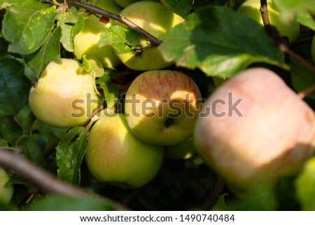 branches with natural apples, closeup #1490740484