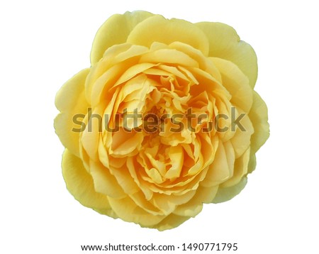 A beautiful picture with a garden yellow rose