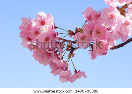 Blue sky and cherry blossom (variety: Yoko Zakura) #1490785388