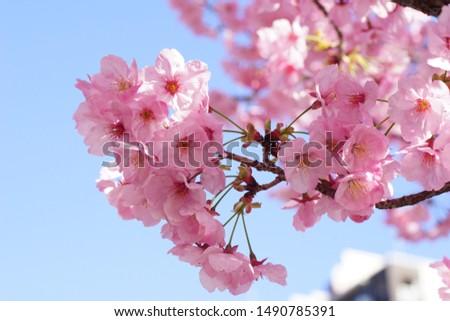Blue sky and cherry blossom (variety: Yoko Zakura) #1490785391