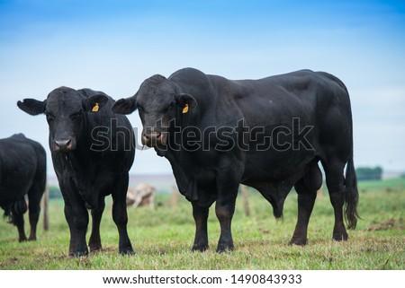 Brangus Preto cattle, in natural pasture, bulls of high genetic in Brazil. #1490843933