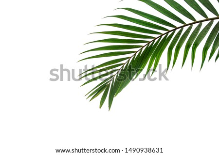 Beautiful green coconut leaf isolated on white background with clipping path for design elements, tropical leaf, summer background #1490938631