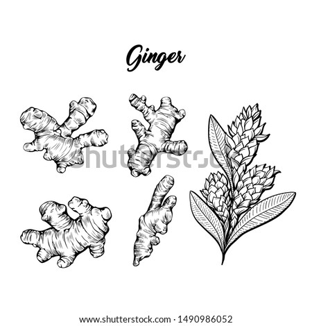 Ginger and flower blossoming plant spice set. Botanical vector illustration for posters or banner design Royalty-Free Stock Photo #1490986052