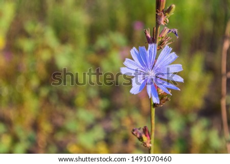 Blue Wild Chicory. Field of wild chicory. Plant close-up. #1491070460