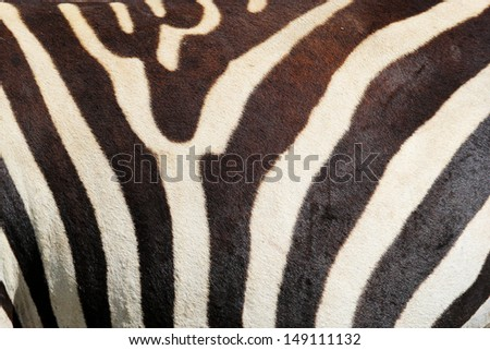 Closeup of stripes of a zebra (Equus Quagga)