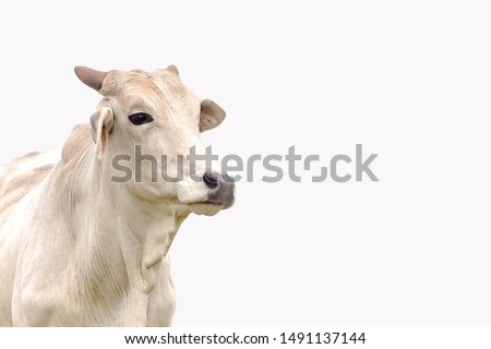 Nelore cattle on the white background. Livestock concept. Cattle for fattening. Space for text. #1491137144