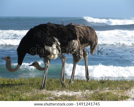 Wild Ostrich at beach, animal lovers #1491241745