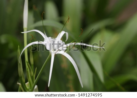 White Flower , Spider lily, Giant lily #1491274595