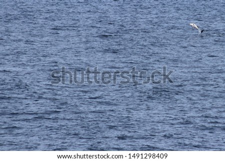 Dolphin jumping in the ocean. Pacific white-sided dolphin Lagenorhynchus obliquidens in natural habitat. Marine mammal in Norht Pacific ocean. Design template, background, copy space for text. #1491298409