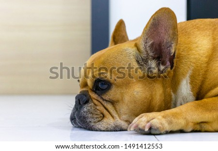 close up brown french bulldog #1491412553
