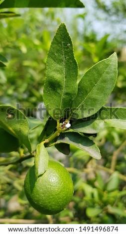 Citrus blackfly and citrus mealybugs #1491496874