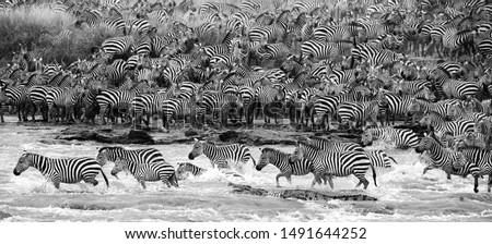 great migration zebra crossing mara river mara triangle Kenya Africa safari zebra vs crocodile wildlife circle of life