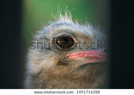 adult long necked ostrich head #1491716288