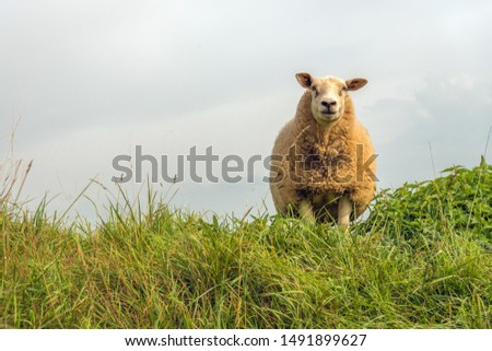 Portrait of a curiously looking sheep with a thick coat against a cloudy sky. The sheep stands on top of a Dutch dike. It is summer now. #1491899627