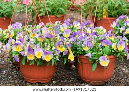 Beautiful Viola flowers growing in flowerpots standing on the ground in garden shop outdoors #1491917321