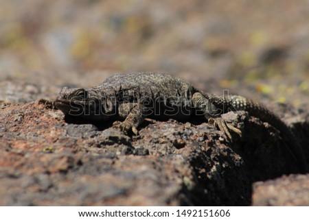 earth colored lizard on the rocks #1492151606