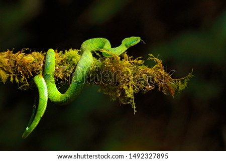 Poisonous viper from Central America. Green Palm-Pitviper, Bothriechis lateralis, danger poison snake in the nature habitat, Tapantí NP, Costa Rica. Venomous green reptile in the nature habitat.  #1492327895